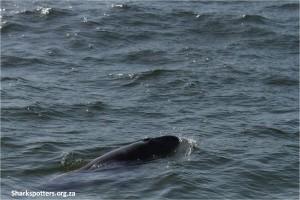 Pygmy-sperm-whale_Fish-Hoek_1-e1422884484728