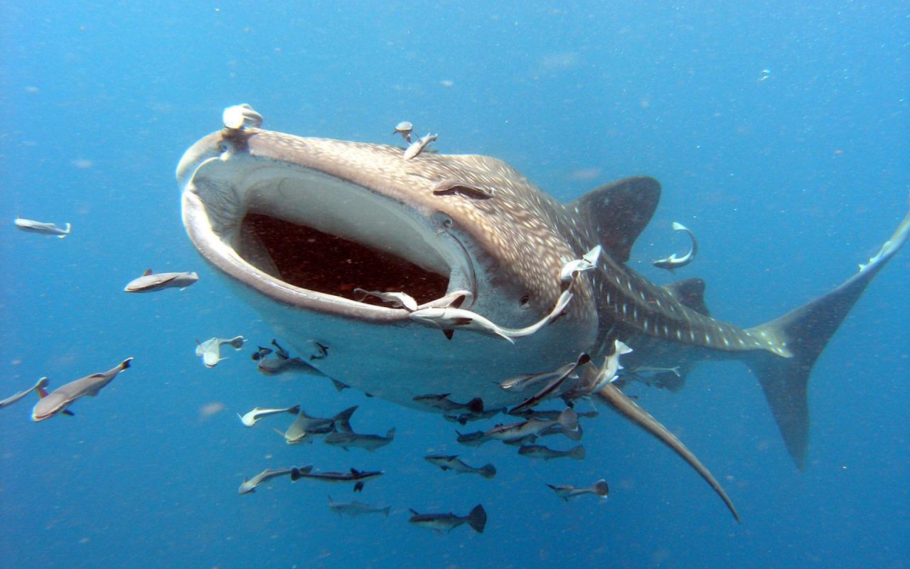 whale_shark_plankton_