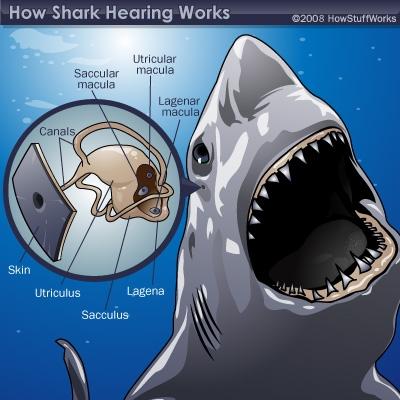 shark-hearing