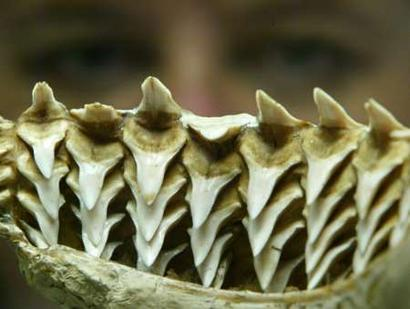 shark-teeth_photo-by-will-burgess