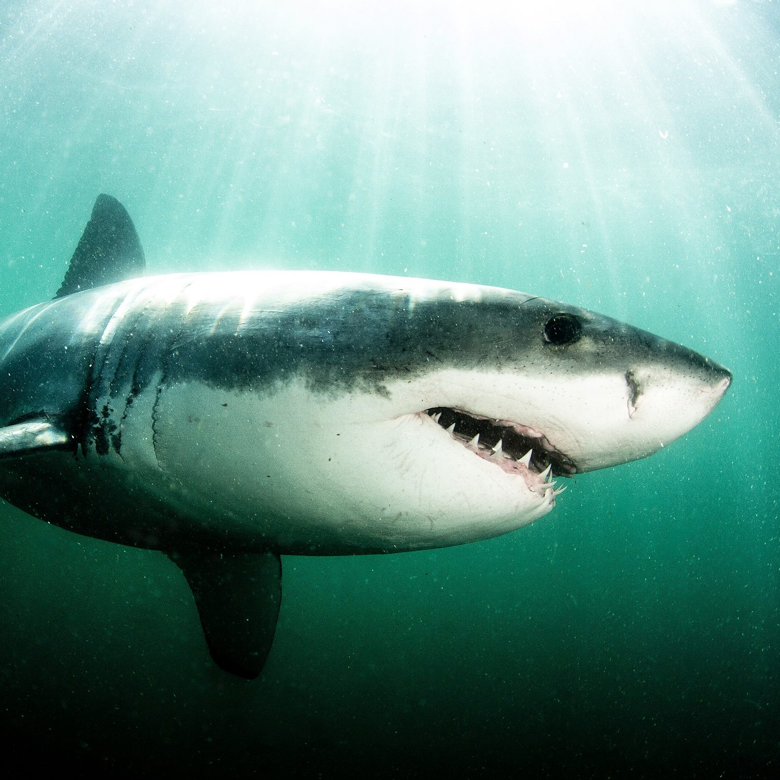 Adopt a Great White